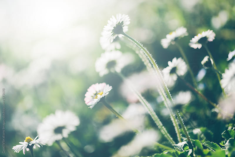 Wild Daisy by Good Vibrations Images for Stocksy United