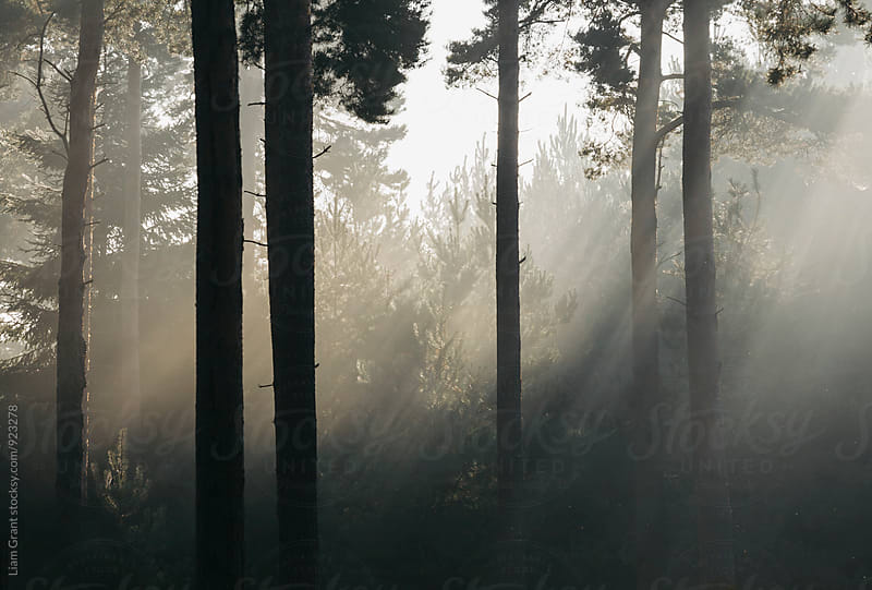 Sunlight burning through mist in a dense woodland. Thetford Forest, Norfolk, UK. by Liam Grant for Stocksy United