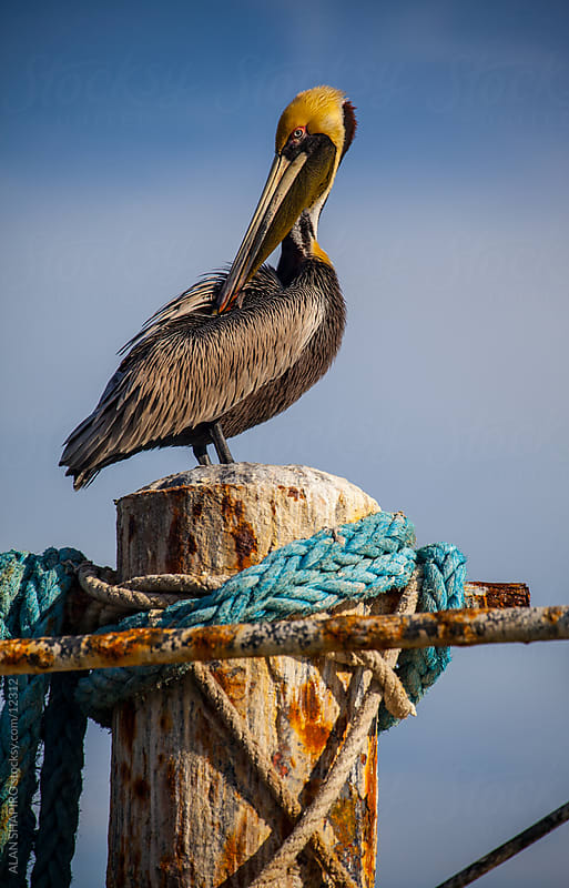 pelican on a wharf by ALAN SHAPIRO for Stocksy United