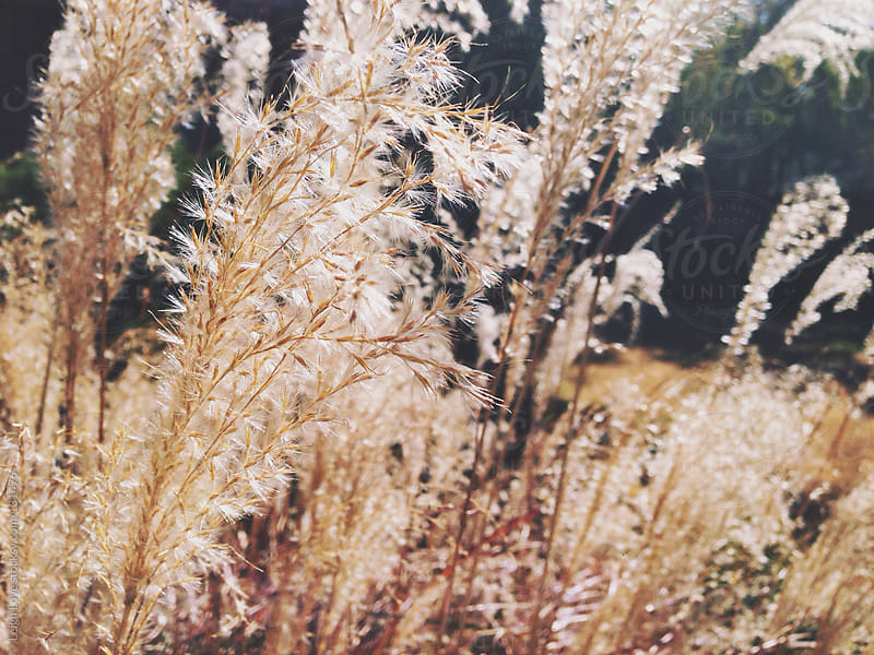Ornamental Grass Plumes in Winter by Leigh Love for Stocksy United