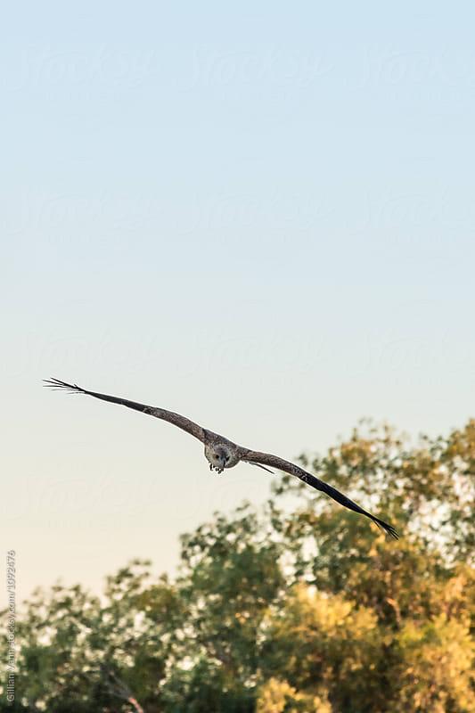 whistling kite bird of prey by Gillian Vann for Stocksy United