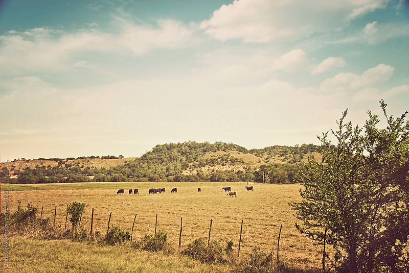 rolling hill with cattle in Hill country Texas by Tod Kapke for Stocksy United