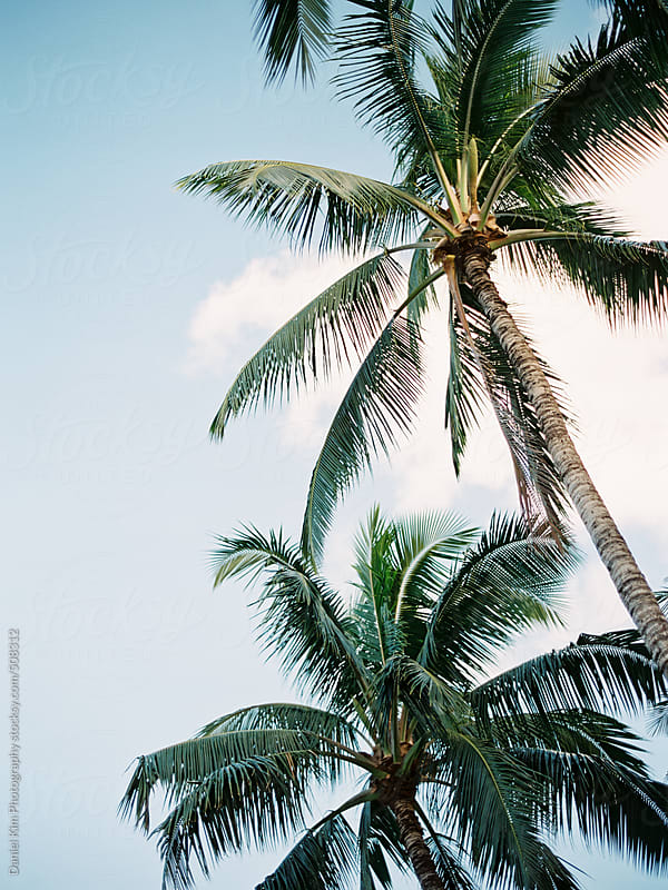 Palm trees by Daniel Kim Photography for Stocksy United