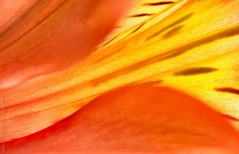 Alstroemeria petals by Mark Windom for Stocksy United