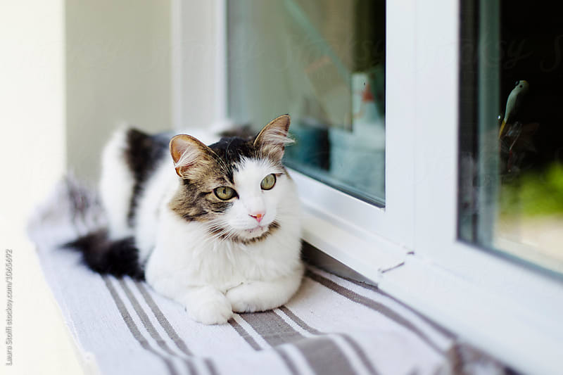 Siberian cat lays outdoor on windowsill in sunny summer day by Laura Stolfi for Stocksy United