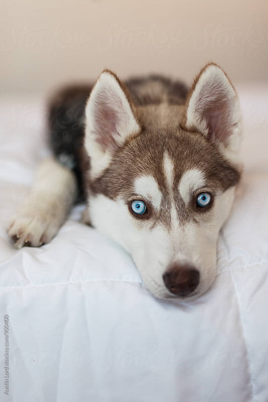 Husky Puppy Laying on Bed  by Austin Lord for Stocksy United