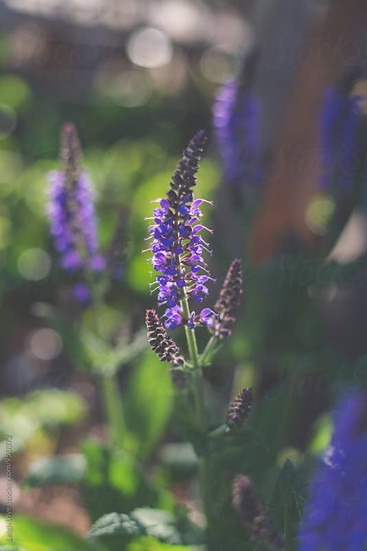 Purple Salvia in Bloom by Leigh Love for Stocksy United