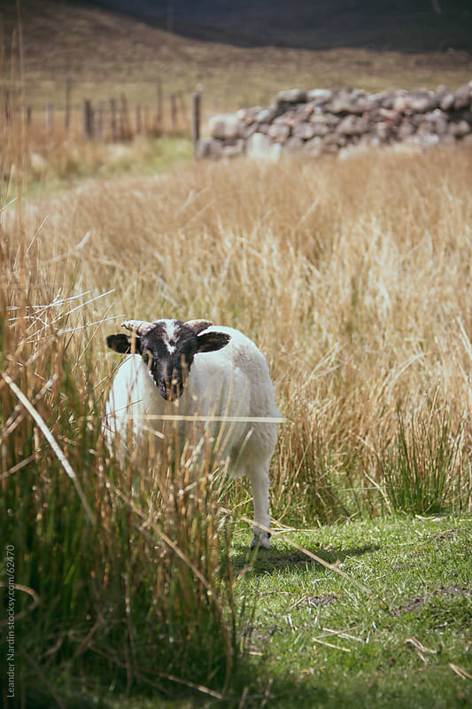 small sheep standing in high grass by Leander Nardin for Stocksy United