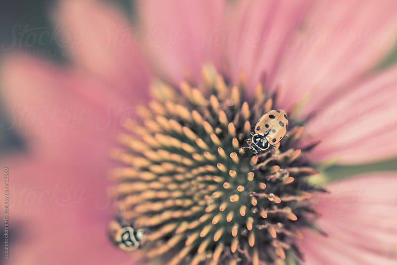 Two Ladybugs on a Pink and Yellow Echinacea Flower by suzanne clements for Stocksy United