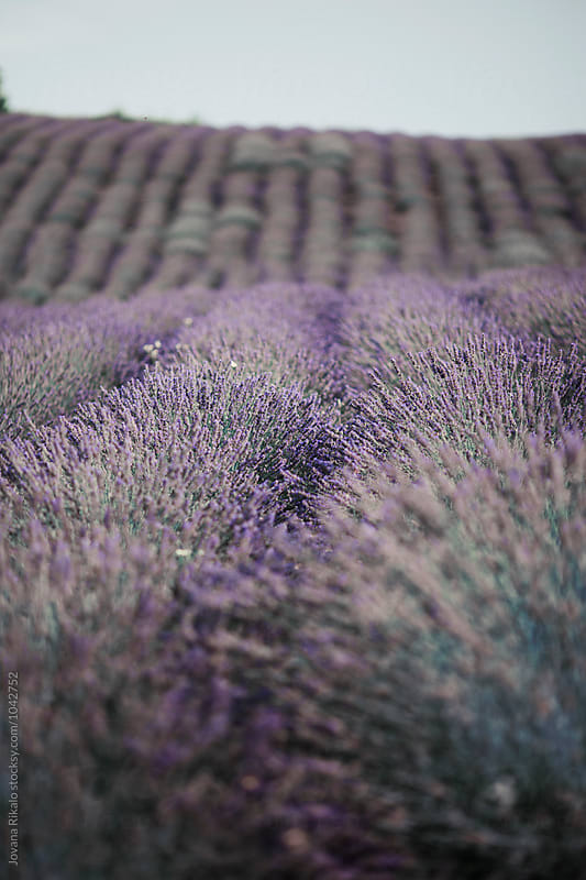 Lavender field by Jovana Rikalo for Stocksy United
