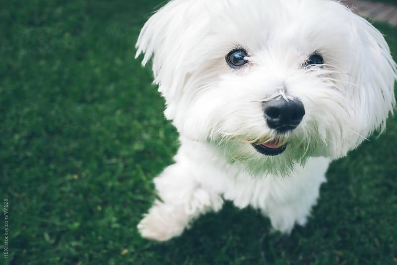 White Maltese Dog Portrait by HEX. for Stocksy United