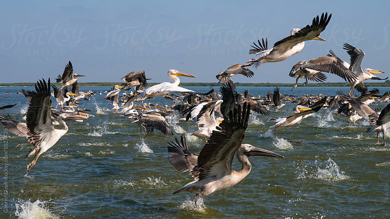 Great white pelicans in Danube Delta, Romania by Gabriel Ozon for Stocksy United
