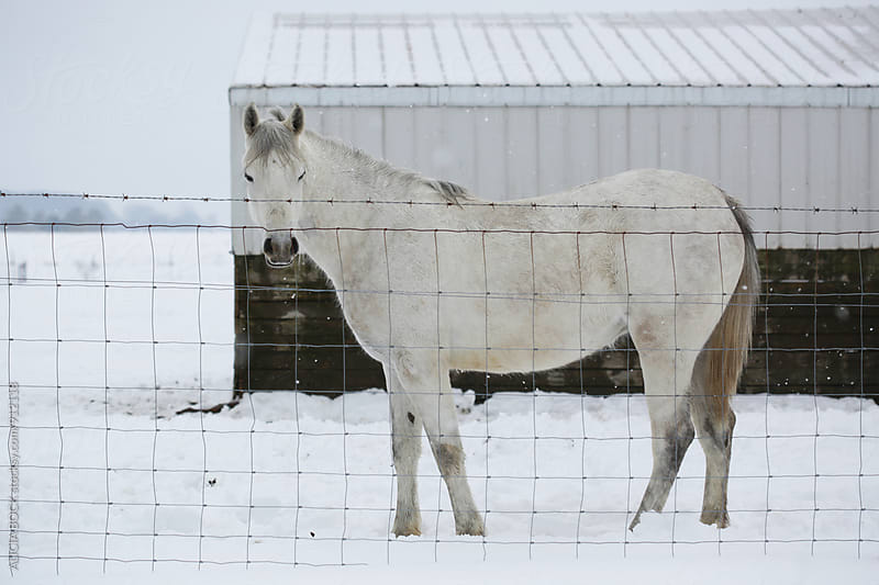 A White Horse Standing In The Snow Near Her Barn On A Cold Winter Day by ALICIA BOCK for Stocksy United