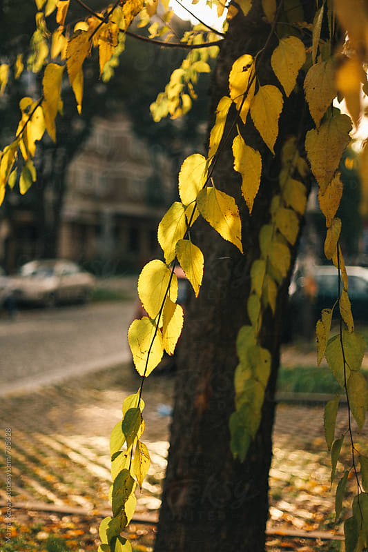 Branches with yellow leaves  by Marija Kovac for Stocksy United