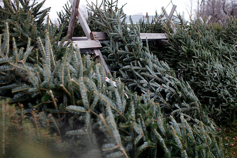 Beautiful cut christmas trees leaning against wooden fence  by Jennifer Brister for Stocksy United