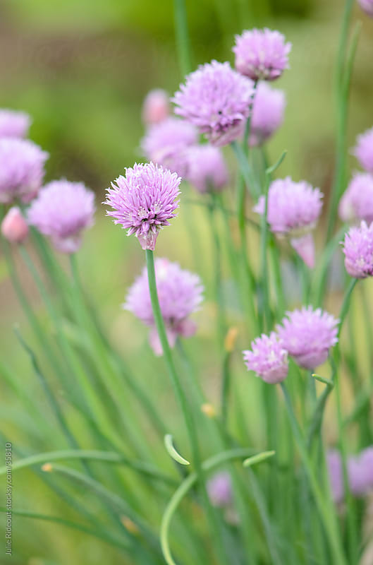 Chives by Julie Rideout for Stocksy United
