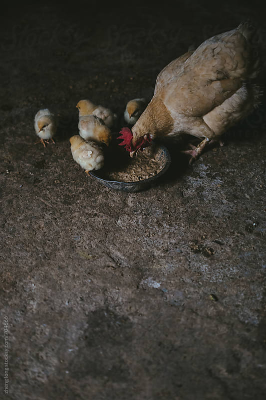 Hen and chicken by zheng long for Stocksy United