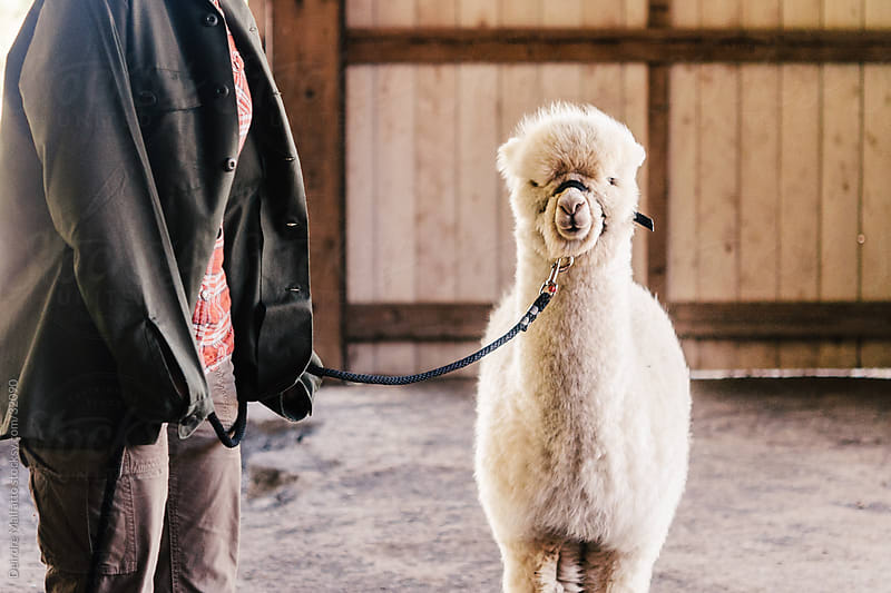 Baby alpaca on a leash in a barn. by Deirdre Malfatto for Stocksy United