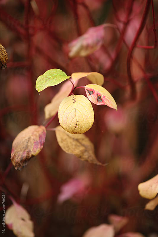 Dogwood bush with yellow leaves in fall by Marcel for Stocksy United