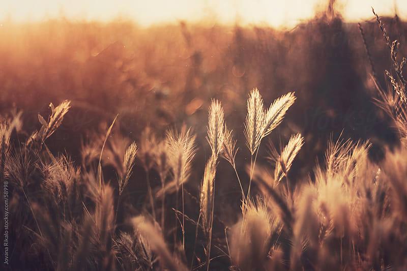 Wheat field close up by Jovana Rikalo for Stocksy United