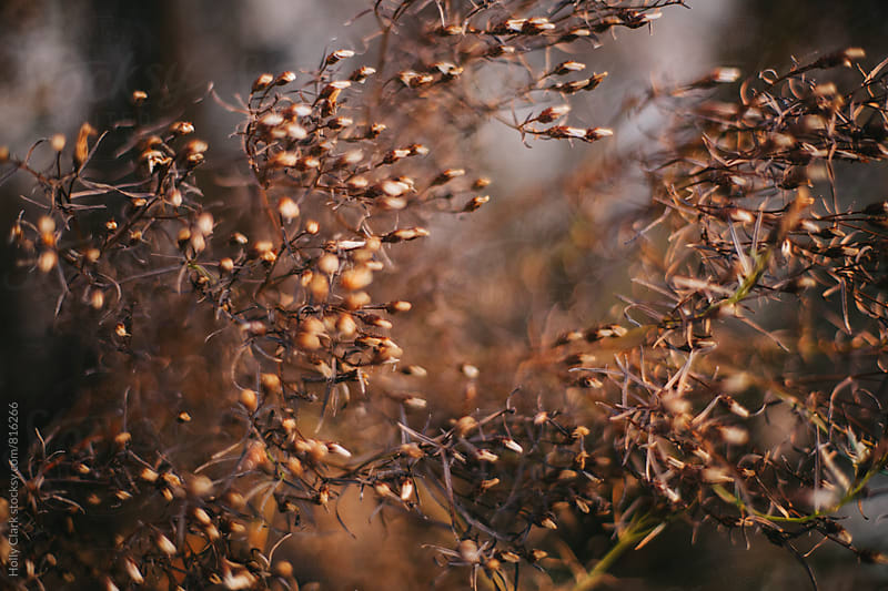 Close up of dried blooms on a dead plant by Holly Clark for Stocksy United