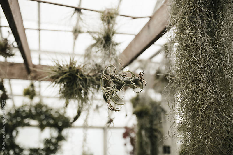 air plants hanging in greenhouse by Nicole Mason for Stocksy United