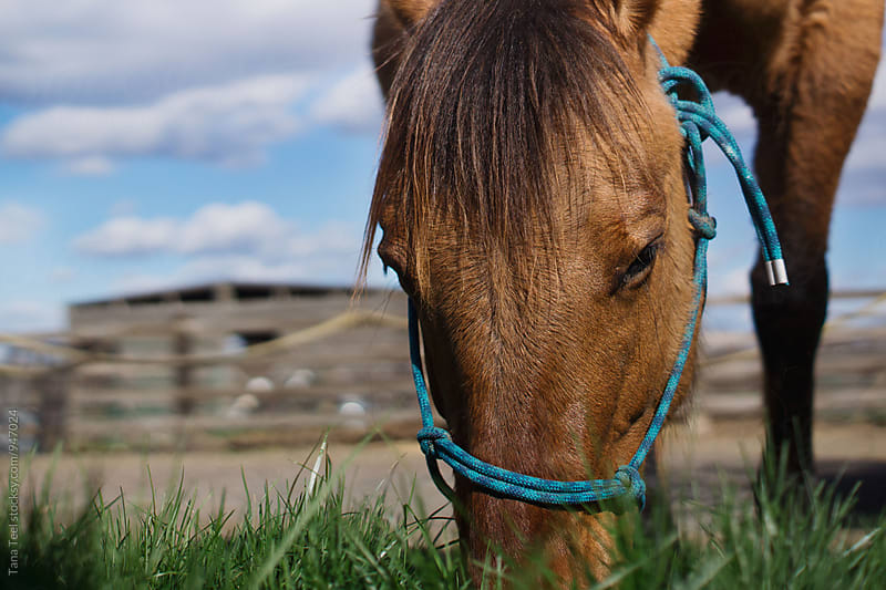 horse's head while grazing in pasture by Tana Teel for Stocksy United