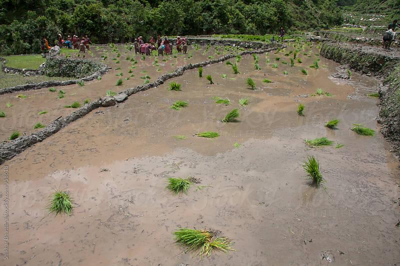 Rice plantation during monsoon in nepal. by Shikhar Bhattarai for Stocksy United