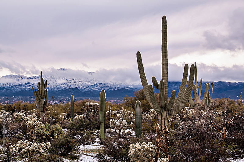 Desert Snow On Saguaro Cactus by Tamara Pruessner for Stocksy United