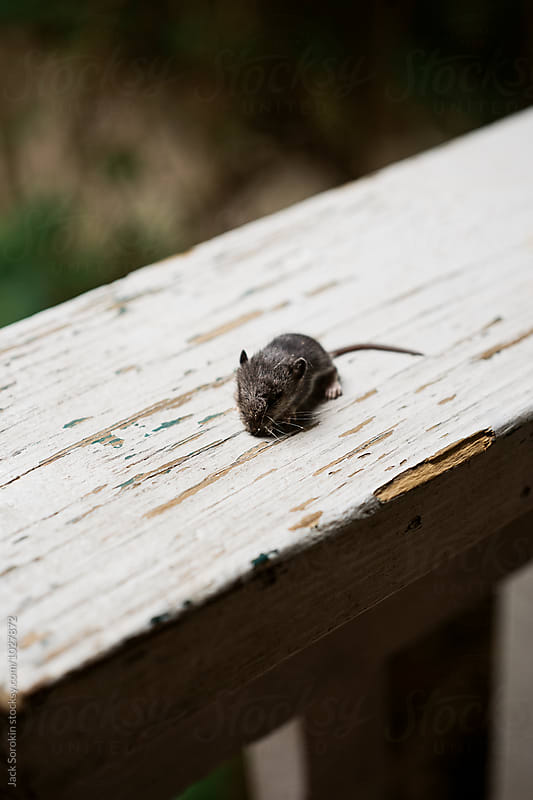 Tiny Mouse On White Wood Railing by Jack Sorokin for Stocksy United
