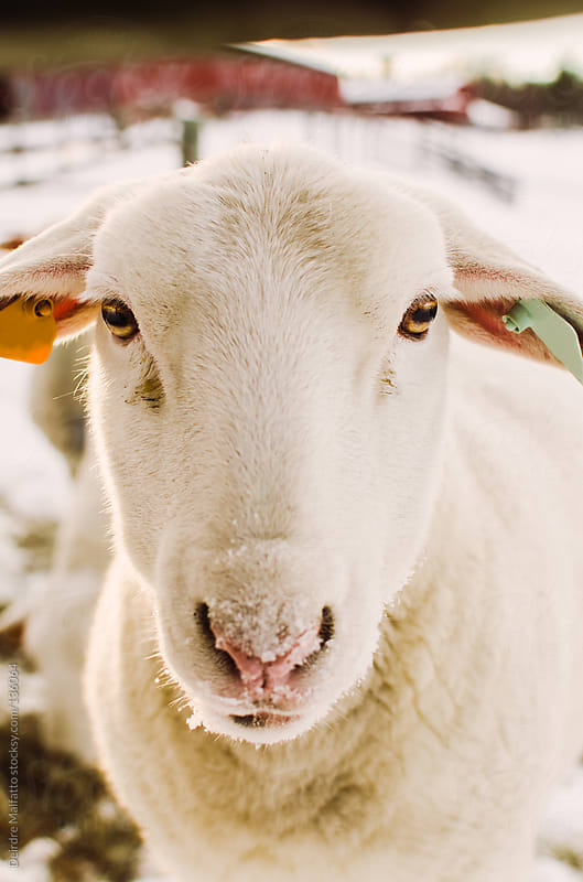 closeup of sheep with snow on its nose by Deirdre Malfatto for Stocksy United