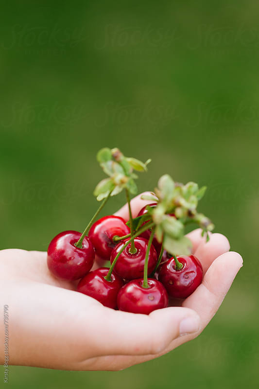 Child's hand holding a bunch of cherries by Kirsty Begg for Stocksy United