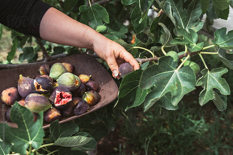 woman harvesting fresh figs from a tree in late summer by Gillian Vann for Stocksy United