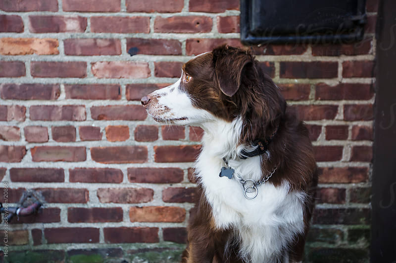 Dog's Profile Against Brick Wall by Holly Clark for Stocksy United