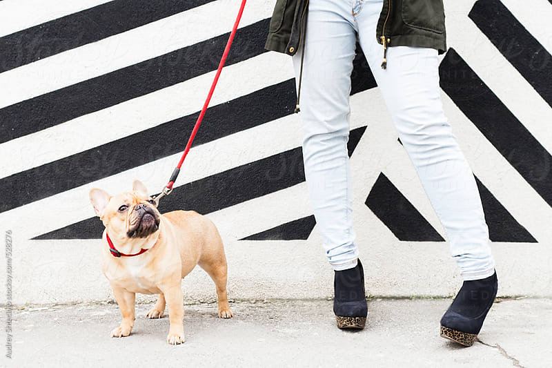 Cute french bulldog looking up to  owner. by Audrey Shtecinjo for Stocksy United