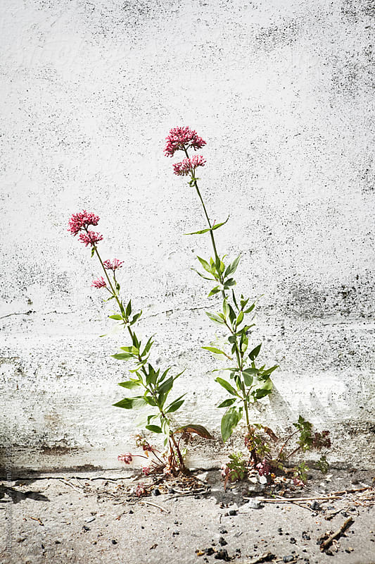 Two pink flowering weeds next to textured wall by James Ross for Stocksy United