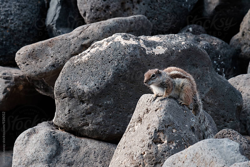 Squirrel basking on a rock by Jon Attaway for Stocksy United