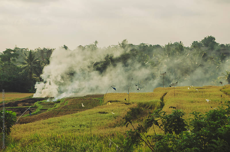 Fire and smoke in rice paddies by Dominique Chapman for Stocksy United