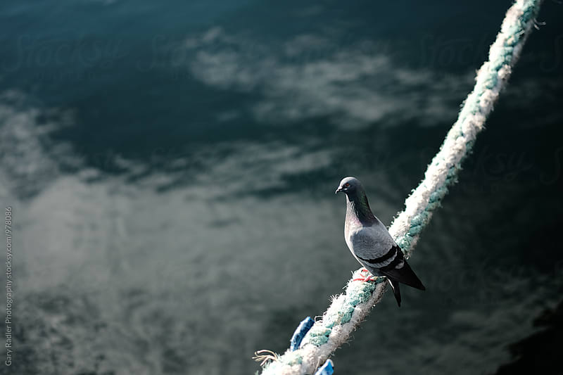Pigeon perched on a Rope by Gary Radler Photography for Stocksy United