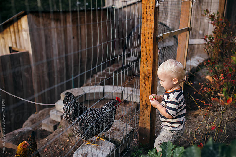 Toddler Boy Eats His Strawberry in Front of A Hungry Chicken by Amanda Voelker for Stocksy United