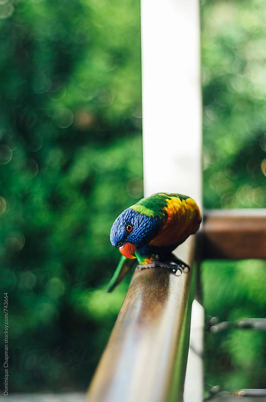 Rainbow Lorikeet perched on rail by Dominique Chapman for Stocksy United