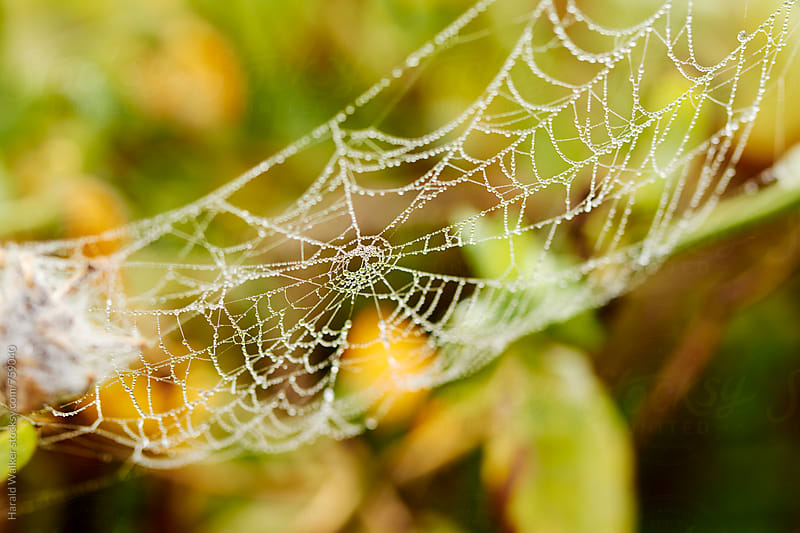 Spider web with morning dew by Harald Walker for Stocksy United