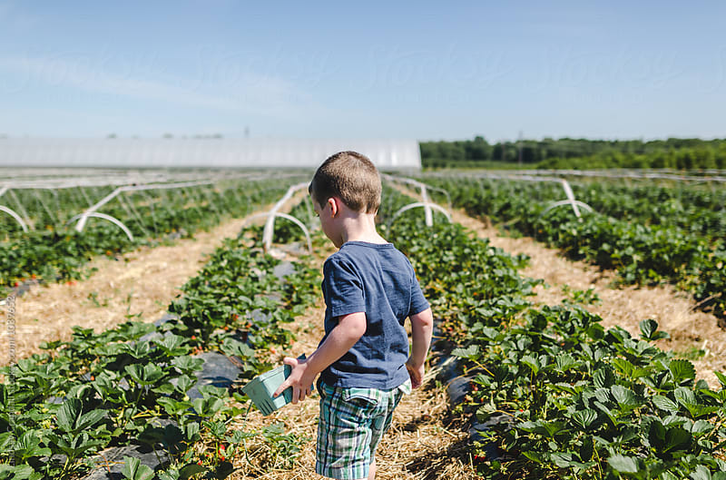 Young boy holding basket standing in field of strawberries by Lindsay Crandall for Stocksy United