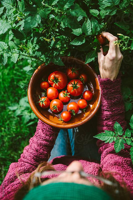 Gardener harvesting homegrown tomatoes by kkgas for Stocksy United