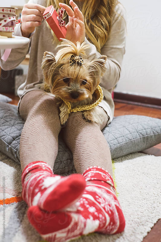 Yorkshire Terrier Lying in his Owner's Lap for the Christmas Eve by Aleksandra Jankovic for Stocksy United
