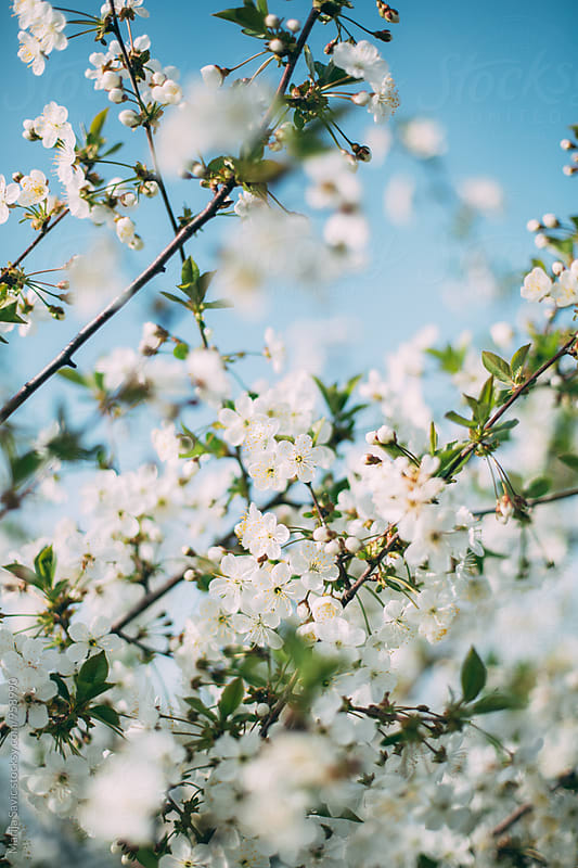 Apple Blossom in Spring  by Marija Savic for Stocksy United