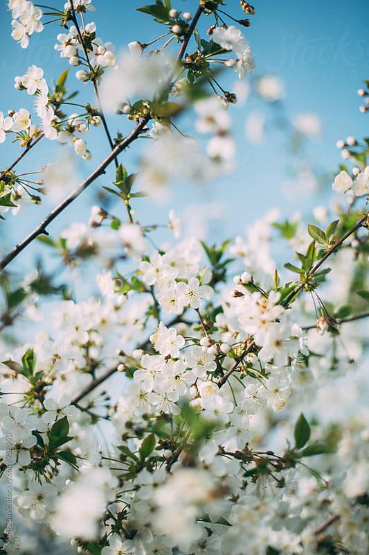 Apple Blossom in Spring  by Marija Savic for Stocksy United