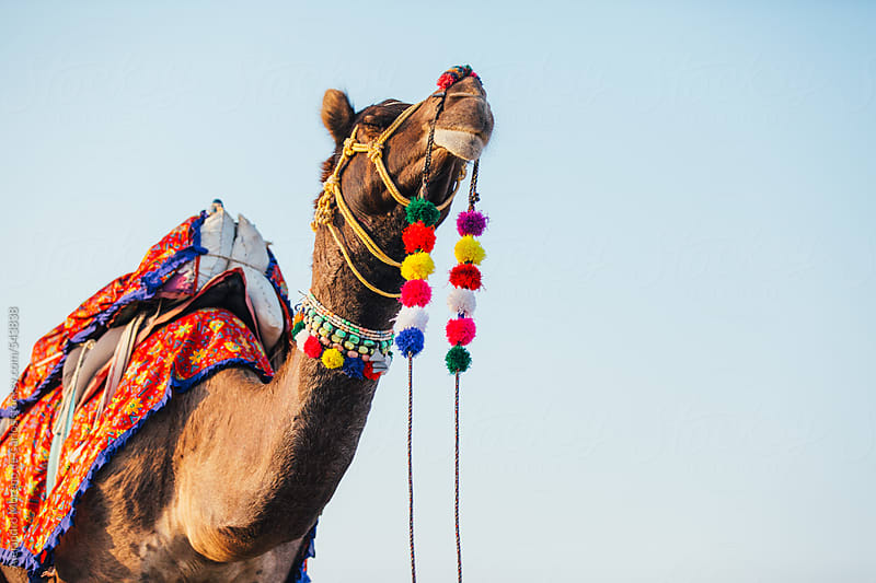 Camel with colourful decorations on the desert at sunset. Rajasthan, India by Alejandro Moreno de Carlos for Stocksy United