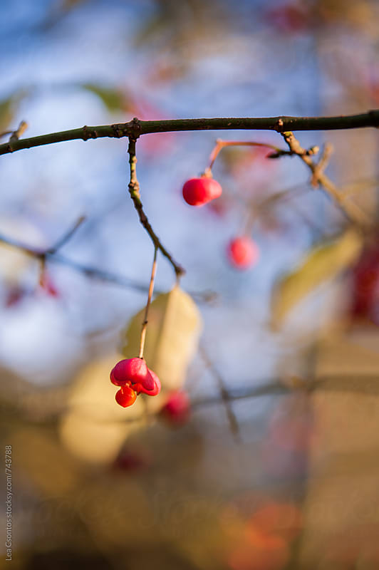 Bright red wild berries in a forest in autumn by Lea Csontos for Stocksy United