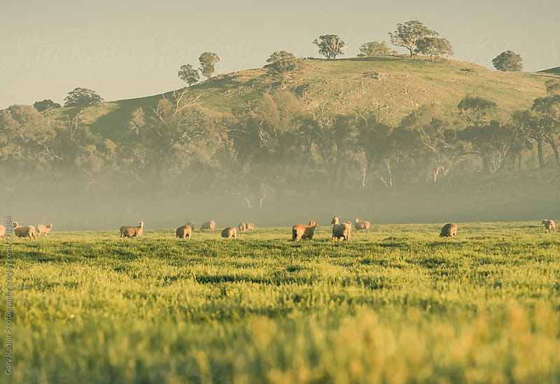 Merino Sheep Grazing by Gary Radler Photography for Stocksy United